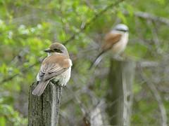 Red-backed Shrike (female) (Al Abbasi) Tags: shrike redbacked