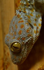 Tokay gecko (Gekko gecko) _DSC0055 (ikerekes81) Tags: zoo washingtondc smithsonian dc washington nikon reptile national nationalzoo gecko kerekes ik istvan gekko rdc tokay nikond3200 tokaygecko dczoo gekkogecko smithsoniannationalzoologicalpark smithsoniannationalzoo d3200 washingtondczoo reptilediscoverycenter zoosmithsonian 18105mm sb700 istvankerekes tokaygeckogekkogecko reptilediscoverycenterzoonationalnational
