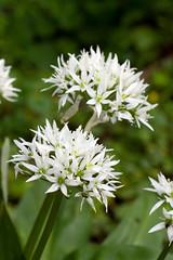 Allium (alw5678) Tags: wild white bay garlic allium brighouse