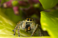 Epic Meal Time (Little Boy 09) Tags: macro canon eos spider jumping venus flash tube sigma os extension f28 36mm 105mm salticidae 60d macrodream kx800