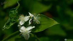 estampa primaveral (I. Alberdi Ezpeleta) Tags: flower macro fleur closeup insect flor blume makro insekt insetto insecte insecto macrophotography lorea macrofotografia macrophotographie intsektu