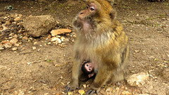 Barbary Ape in the Wild, Morocco (macloo) Tags: baby monkey morocco ape barbaryape midelt