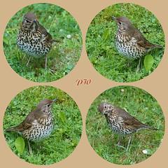 Drossel x 4 (peterphot) Tags: birds wildlife sony natur mai sachsen vgel drossel 600er