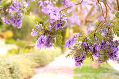 Jacaranda Trees in Santa Monica (Mademoiselle Mermaid) Tags: california losangeles purple santamonica jacaranda purpleflowers jacarandas jacarandatree flowerphotography purpletrees jacarandatrees purplefloweringtrees mademoisellemermaid