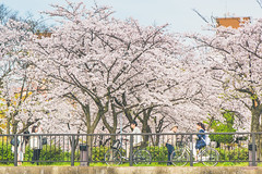 -  (Vince-leo) Tags: people plant japan cherry spring    sakura cherryblossoms osaka kansai         nikond810