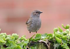 Dunnock (NickWakeling) Tags: nature birds wildlife norfolk dunnock spixworth canon60d canonef400mmf56lusmlens