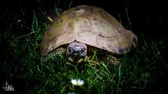 Turtle (Ukelens) Tags: light shadow lights schweiz switzerland licht shadows suisse turtle swiss bern schatten lighteffects lichter lightroom lighteffect schildkrte lichteffekte lichteffekt berncity ukelens