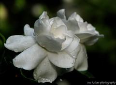 Great photography is about depth of feeling.... (itucker, thanks for 2.2+ million views!) Tags: macro bokeh raindrops gardenia dukegardens