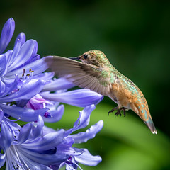 DSC_6571-1 (craigchaddock) Tags: hummingbird agapanthus sandiegozoo lilyofthenile allenshummingbird selasphorussasin