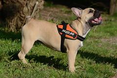 Ugly Dog (alderney boy) Tags: hound pug canine julius k9