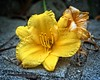 Grounded (DASEye) Tags: davidadamson daseye nikon flowers floral flower flickrsawesomeblossoms awesomeblossoms blossoms blossom lily daylily lilies