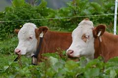 DSC_4887 (d90-fan) Tags: animals outdoors austria tiere cow sterreich natur khe rauris hohetauern tauern kuhglocke krumltal raurisertal