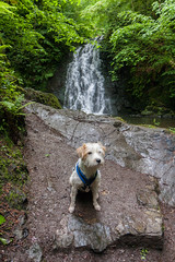 Glenoe (ghostwheel_in_shadow) Tags: ireland dog river mammal waterfall europe unitedkingdom terrier jackrussell northernireland ulster vertebrate antrim wiggo parsonrussell gleno glenoe