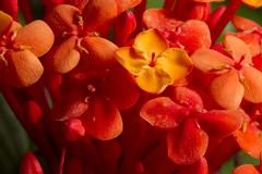 Flores do senhor Miro (Andr Thiago Chaves Aguiar) Tags: santiago macro rio grande do flor jardim japonesa sul hortnsia vemelha