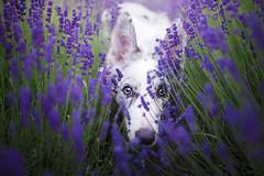 Cirilla (Alicja Zmysowska) Tags: pet pets dog dogs border collie lavender puppy puppies