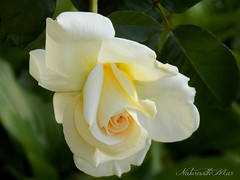 For You! (NaturewithMar) Tags: birthday white macro rose spring rosa nikoncoolpix greenbackground l330