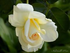 Happy birthday! (NaturewithMar) Tags: birthday white macro rose spring rosa nikoncoolpix greenbackground l330