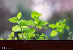 _DSF1587-Edit.jpg (Waleed Taleb) Tags: flowers plants plant flower nature fruit bokeh mint foodbeverge