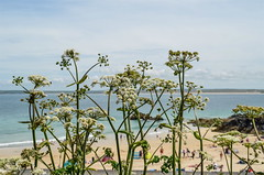 cow parsley (daisyglade) Tags: stives beautifulcornwall sea cowparsley beach summer sunshine sky june