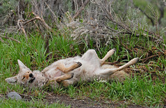 Rolling in the... -  7672b (teagden) Tags: coyote park wild nature fun photography nikon wildlife national yellowstonenationalpark roll yellowstone rolling ynp naturephotography yellowstonepark wildlifephotography yellowstonewildlife jenniferhall jenhall jenhallphotography jenhallwildlifephotography