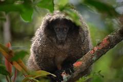 Titi Monkey (Spectacle Photography) Tags: brazil minasgerais brasil monkey do sanctuary titi caraa santuriodocaraa titimonkey callicebus simiapersonatus