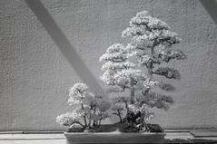 DSC_3815s (An Xiao) Tags: arboretum bonsai penjing