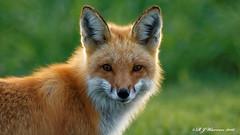 Red-Fox-Backlit (Aria (RJWarren)) Tags: nature animal canon midwest wildlife iowa fox backlit t3i redfox vulpesvulpes tamron150600mm