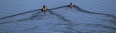 Swimming Pairs (viktrav) Tags: blue pond ducks northdakota ripples vformation vshape