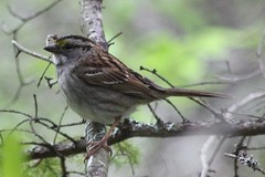 White-throated Sparrow (rwkphotos) Tags: canada novascotia whitethroatedsparrow zonotrichiaalbicollis