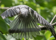 Transparency   1Z9A9063 (DCLbyrdnyrd) Tags: feathers titmouse tufted backlighting