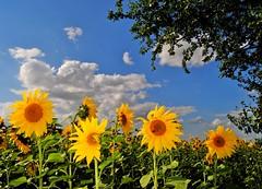 Summer feeling! (Tobi_2008) Tags: flowers summer sky nature germany landscape deutschland sommer saxony natur himmel blumen ciel sunflowers sachsen landschaft allemagne germania sonnenblumen ruby3