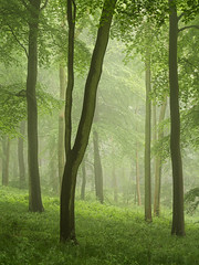 Flourishing (Damian_Ward) Tags: wood morning trees mist misty fog forest woodland photography buckinghamshire foggy beech thechilterns chilternhills wendoverwoods damianward damianward
