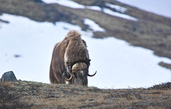 Muskox, Norway (BadgerPhoto45) Tags: norway bigma sigma merrill foveon dovrefjell muskox noorwegen 50500mm sd1 x3f muskusos sd1merrill snohettaviewpoint