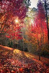 Red, Yellow and Orange (*ScottyO*) Tags: autumn trees winter red orange sun sunlight tree fall leaves sunshine yellow forest garden flora shadows hill australia foliage adelaide botanic sunburst southaustralia mountlofty mtlofty
