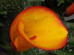 Calla (Gartenzauber) Tags: flower calla ngc npc floralfantasy cffaa esenciadelanaturaleza