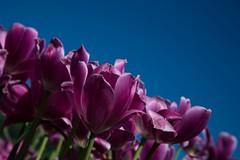 DSC_3720 (Copy) (pandjt) Tags: ca flowers canada bc britishcolumbia tulip abbotsford tulipfestival abbotsfordtulipfestival