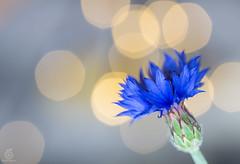 Centaurea Cyanus (c_hancke) Tags: wood morning wild summer sun flower macro green nature water grass drops waterdrop wasser sommer natur ground drop gras waterdrops makro sonne morgen waldboden blumenundpflanzen
