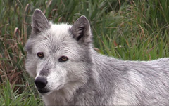 A wondering wolves (Eagle-Wings) Tags: coyote usa nature animal video wolf wildlife wolves wolfpack alaskantundra