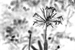 Spent (OzzRod) Tags: blackandwhite plants monochrome pentax inverted agapanthus uncropped k1 pentaxart hdpentaxdfa2470mmf28