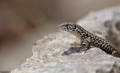 Comino Wall Lizard (Snails That Roar) Tags: wild summer nature rocks reptile wildlife malta lizard dslr arid bluelagoon comino walllizard 70300mmvr europeanwildlife mediterraneanwildlife nikond3100 cominowalllizard maltawildlife fiflofalizard