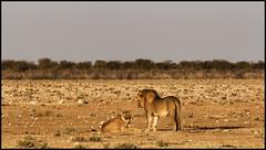 _SG_2016_05_Namibia_0053_IMG_0320 (_SG_) Tags: auto africa park trip horse elephant tree water car nationalpark wasser solitude desert hole lion pride national lions zebra afrika giraffe ausflug elefant namibia herd pferd lioness baum strauch etosha gnus wildebeest watering wateringhole lwe lwen elefanten 2016 einde giraffen antilopen lwin herde prideoflions etoshanationalpark standpost wasserstelle etoshapark lwenrudel elefantenherde wildebai giraffenherde giraffesherd
