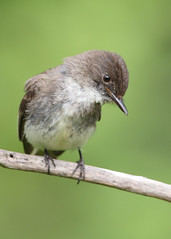 _53F6125 Eastern Phoebe Closeup (~ Michaela Sagatova ~) Tags: easternphoebe flycatcher birdphotography michaelasagatova