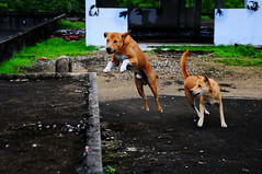 ,, The  Leaper ,, (Jon in Thailand) Tags: roof dog playing dogs smile fun jumping hands nikon rocky ears mama racing jungle paws nikkor leaping whitesox tails k9 levitating d300 blackhand whitehand 175528 thedogpalace