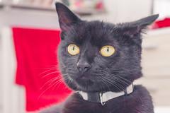 IMG_4008 (BalthasarLeopold) Tags: pet cats pets animal animals cat blackcat mammal kitten feline dof kittens felines blackcats indoorcat dephtoffield