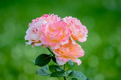 rose garden 4 (gdajewski) Tags: flowers roses rose garden rosegarden nikkor70200mmf28gafsvr nikond7000 schenectadyrosegarden