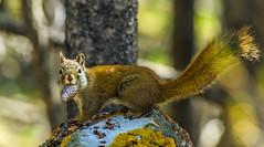red squirrel - banff NP, canada (AB) 3 (Russell Scott Images) Tags: canada ab alberta banff rodents banffnationalpark pinesquirrel americanredsquirreltamiasciurushudsonicus
