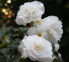 Evening Begonias (Kooklamou - MA., USA) Tags: evening bokeh begonia settingsun