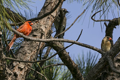 Pair of Cardinals and an Unwelcome  Guest (Bill_Oswald) Tags: kite birds animals cardinals otherkeywords