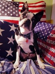 Born on the 2nd of July (EllenJo) Tags: bostonterrier pentax ivan adorable handsome happybirthday olddog july2 age12 yankeedoodle ellenjo bornin2004 pentaxqs1