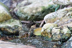 Northern Waterthrush (BrendanMcGarry) Tags: texas birding southpadreisland birdwatch northernwaterthrush seiurusnoveboracensis 2013 brendanmcgarry seattleaudubon wingtriporg
